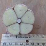 German White Seed Garlic Bulb