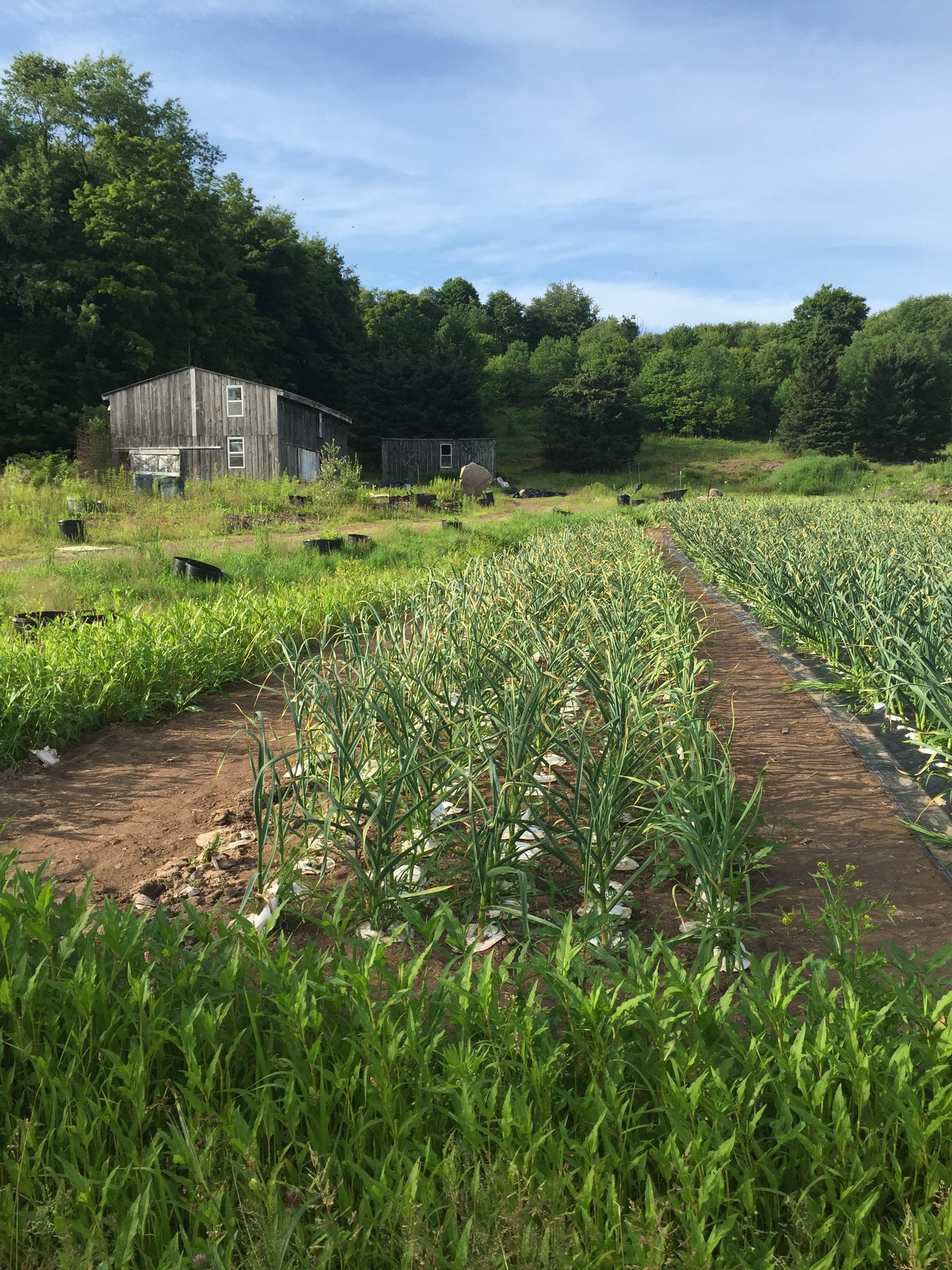 garlic growing without mulch