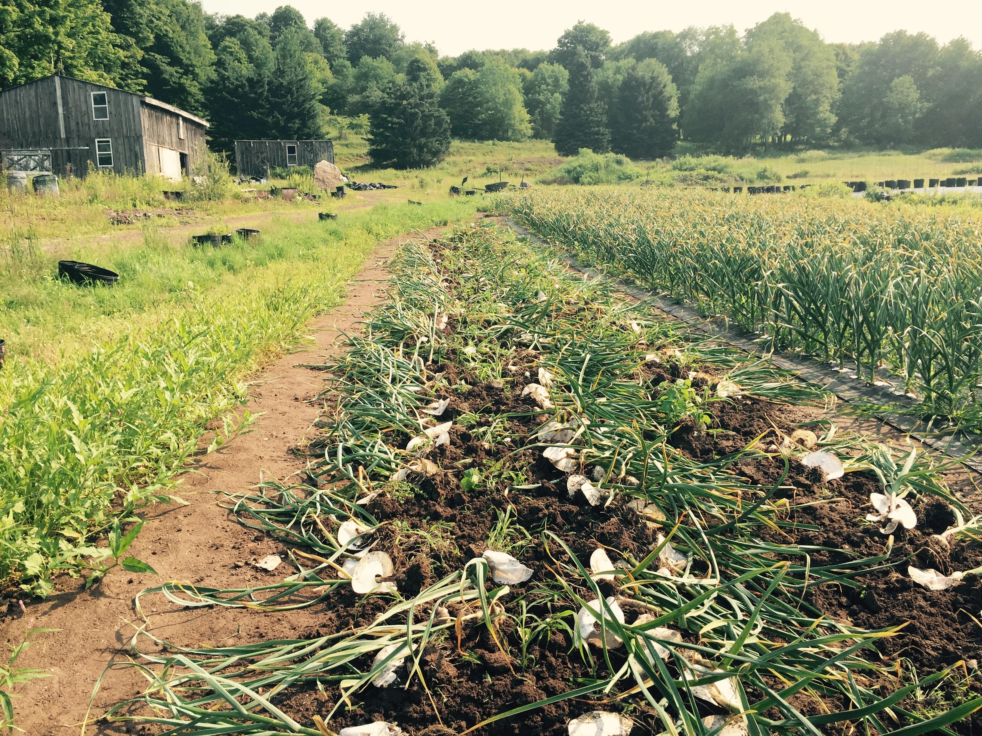 garlic bed harvested
