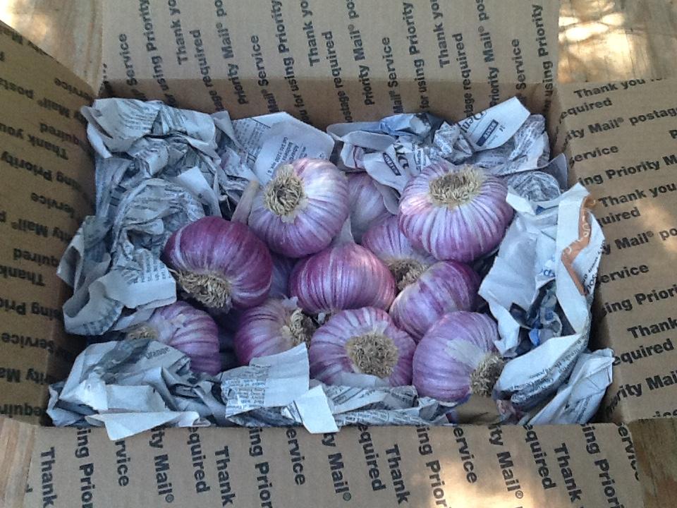 garlic in box