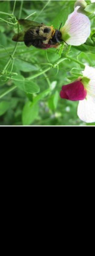 carpenter bee on flower