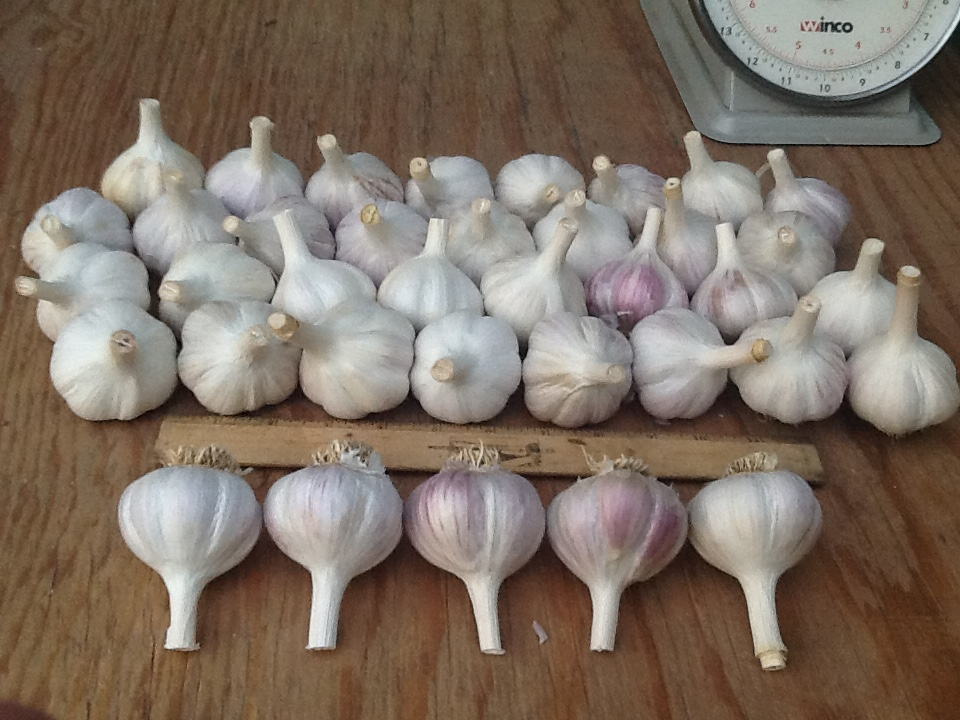 Big Garlic Bulbs